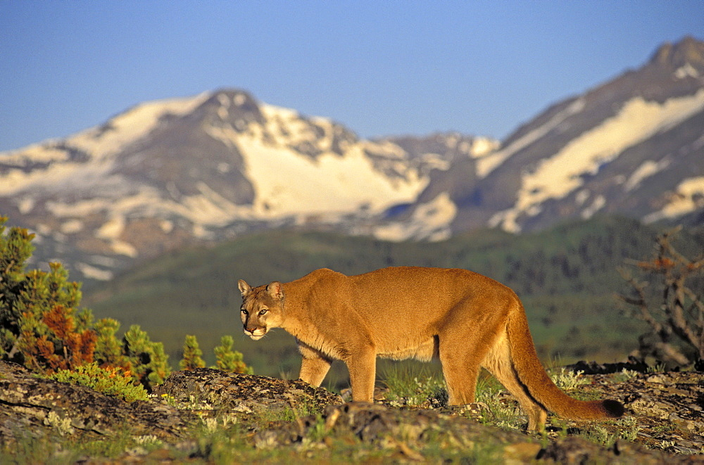 Tk0588, Thomas Kitchin; Cougar/Mountain Lion/Puma. Male In Alpine Meadow. Summer. Rocky Mountains. Felis Concolor.