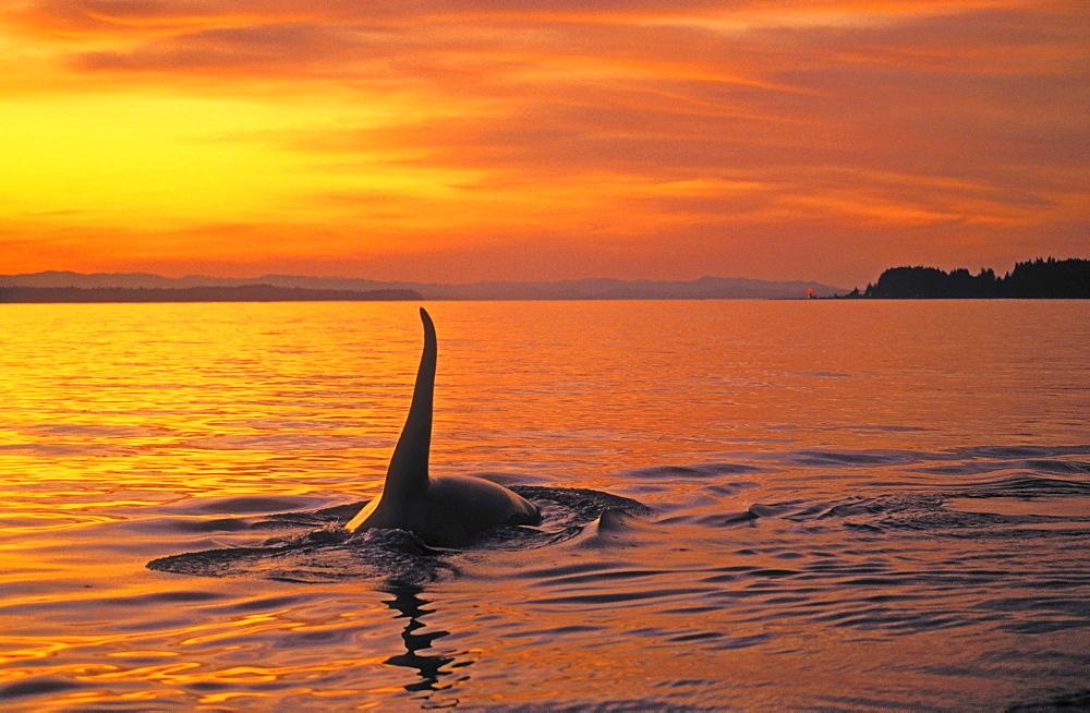 Tk0628, Thomas Kitchin; Orca/Killer Whale. Johnstone Strait, British Columbia. Canada. Orcinus Orca.
