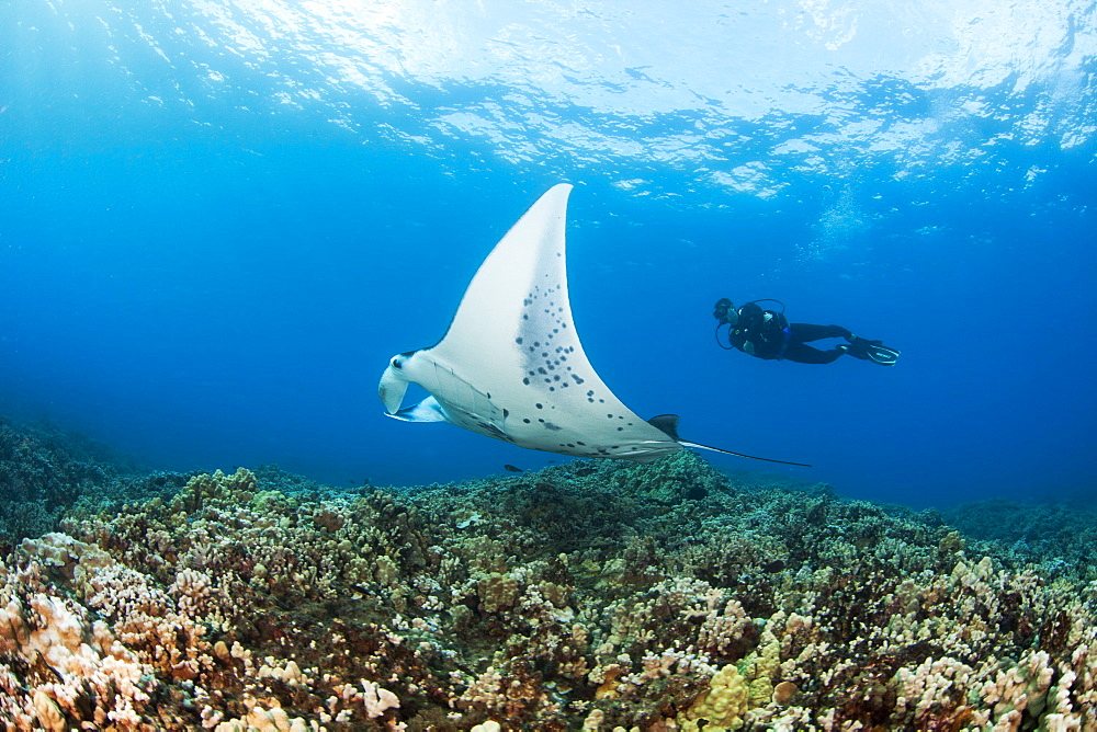 Hawaii, Maui, Reef Manta Ray (Manta alfredi) cruises over the shallows off Ukumehame.
