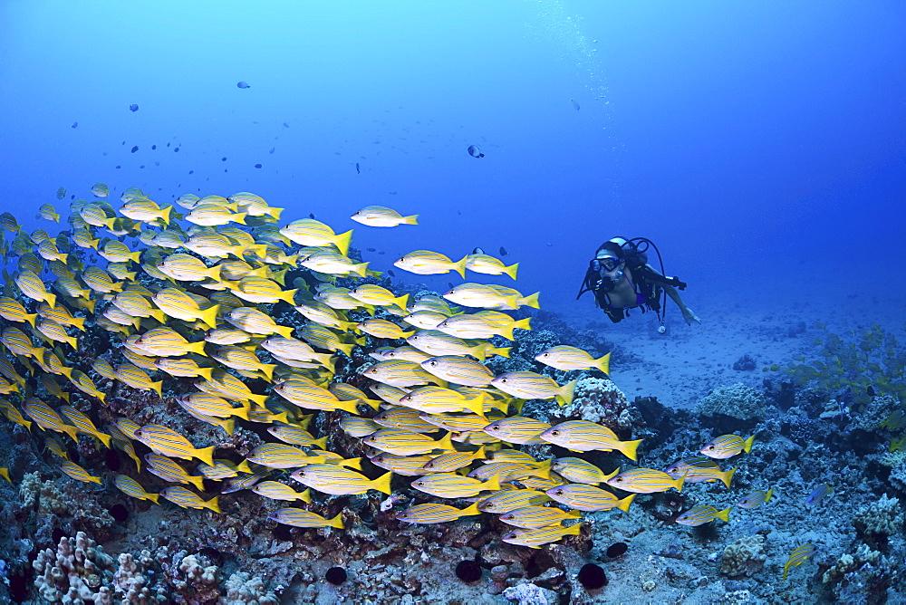 Hawaii, Maui, Schooling Bluestripe Snapper, (Lutjanus kasmira) and a diver.