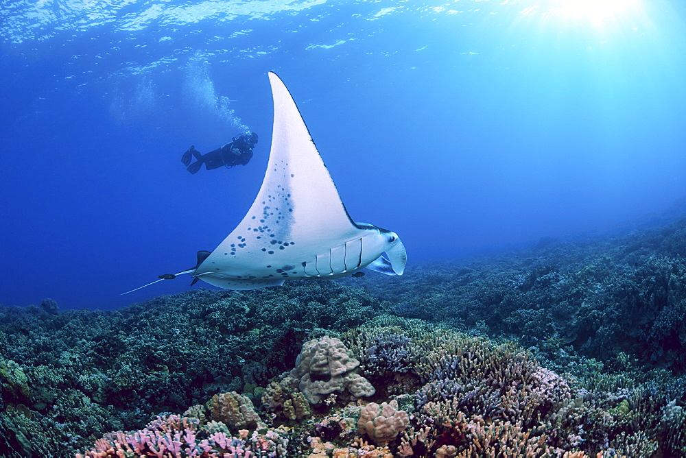 Hawaii, Maui, A reef manta ray, (Manta alfredi) cruises over the shallows off Ukumehame.