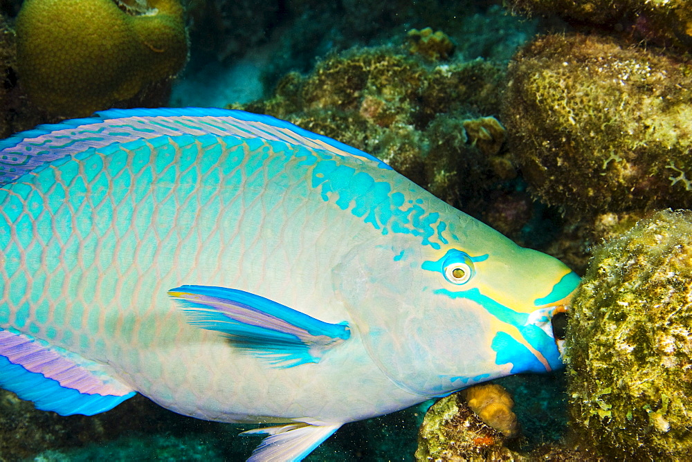 Netherlands Antilles. Bonaire, Blue Parrotfish (Scarus coeruleus) feeding on coral.