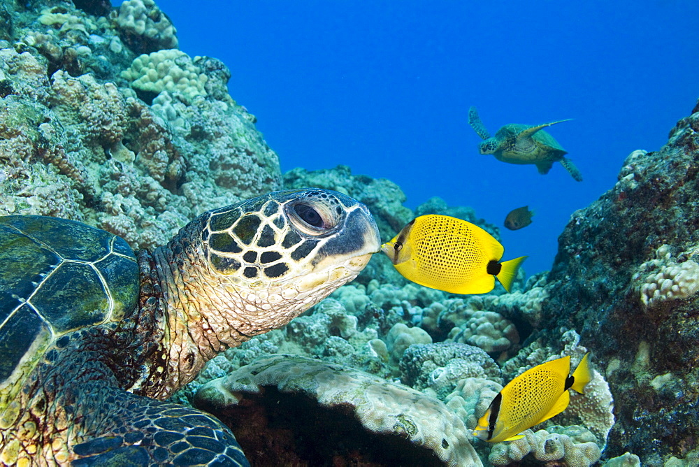 Hawaii, Green sea turtle (Chelonia mydas) an endangered species and a Butterfly Fish.