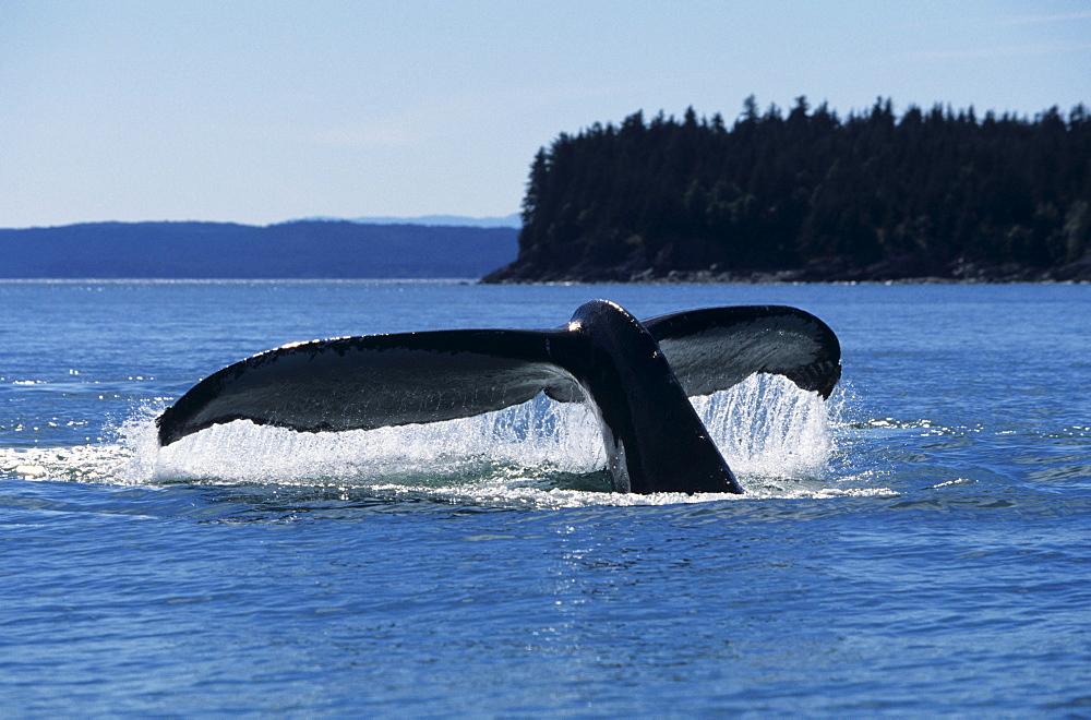 Southeast Alaska, North Pass, Humpback Whale (Megaptera novaeangliae) lifting tail fluke out of ocean.