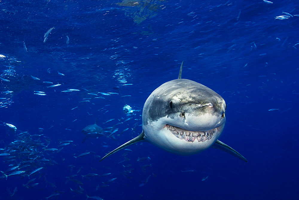 Mexico, Guadalupe Island, Great White Shark (Carcharodon carcharias).