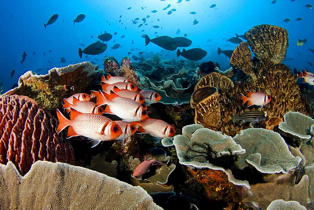 Indonesia, Komodo, Divers and a school of shoulderbar soldierfish (Myripristis kuntee).