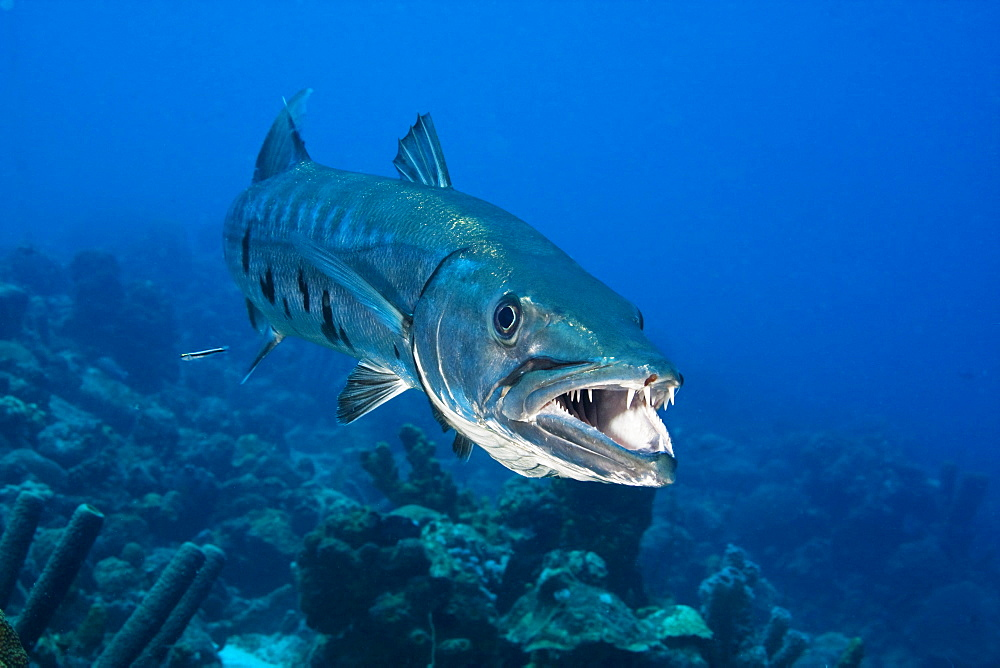 Caribbean, Bonaire, Great Barracuda (Sphyraena Barracuda).