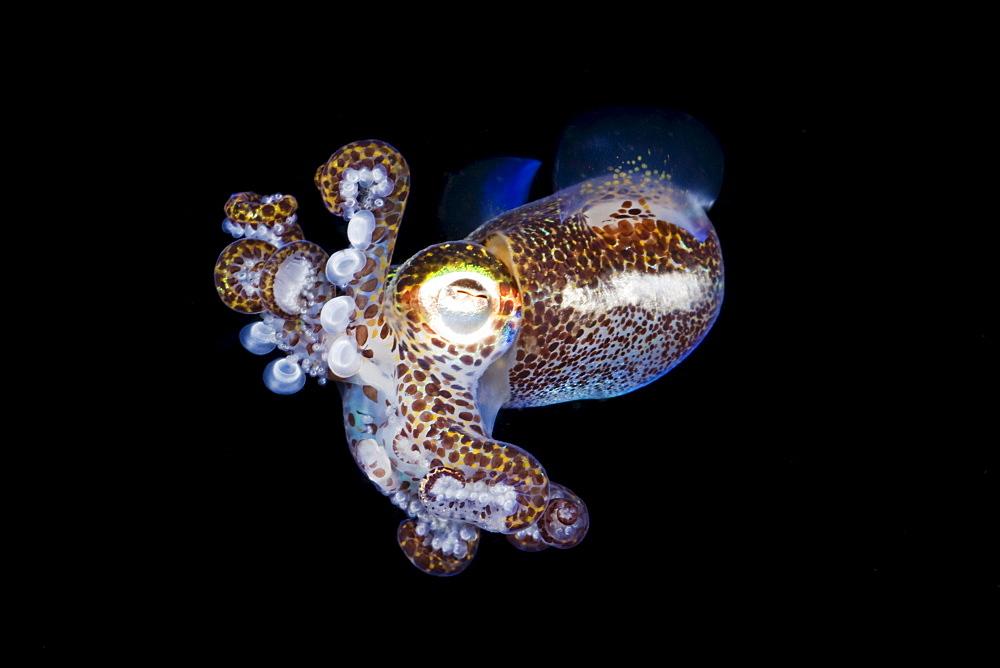 Indonesia, Komodo, Bobtail Squid (Euprymna berryi).