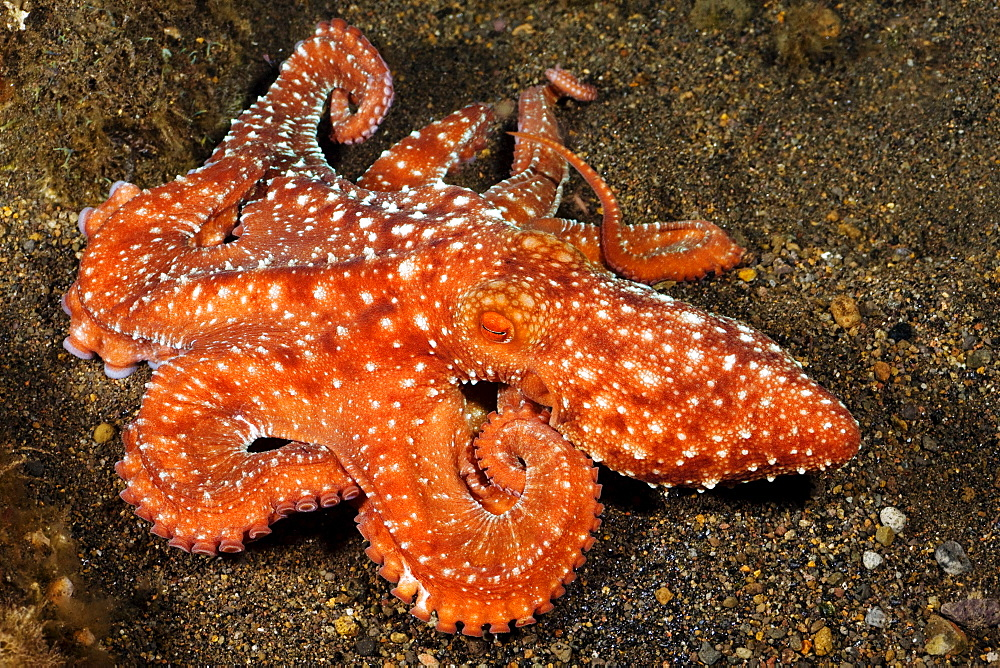 Indonesia, Komodo, Starry night octopus (Octopus luteus), tentacles curled over sandy seafloor.