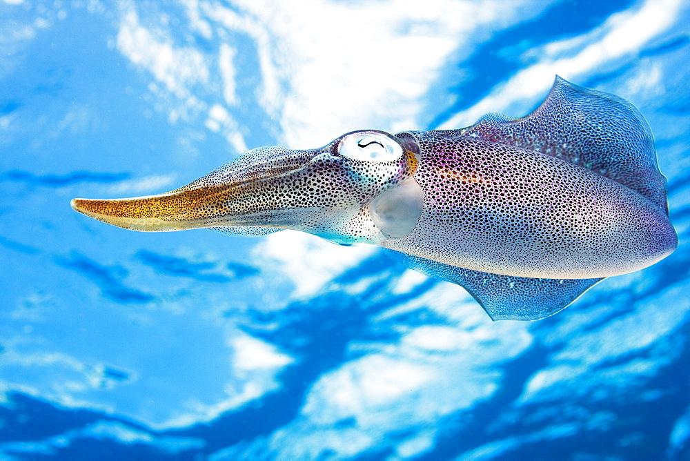 Caribbean, Bonaire, Reef squid (sepioteuthis sepioidea).