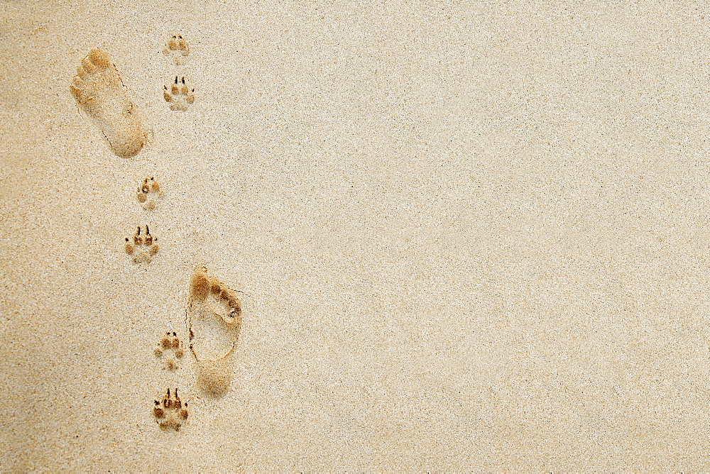 Hawaii, Oahu, Footprints and pawprints in the sand. - 1116-29406