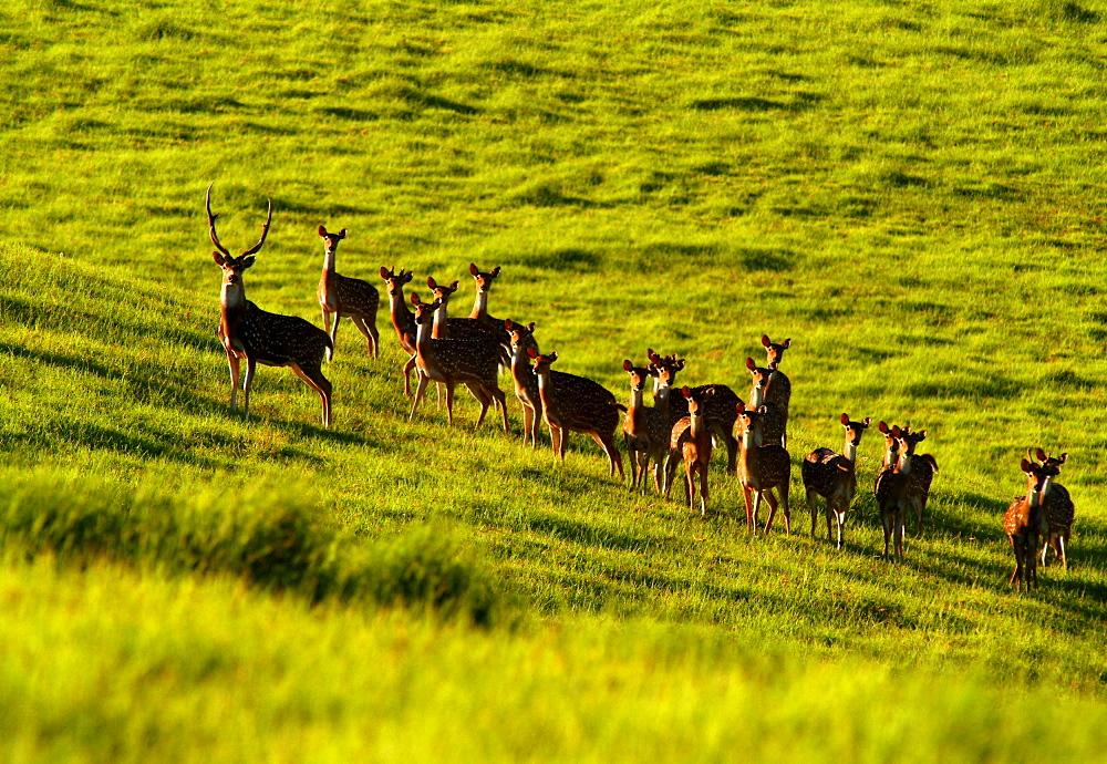 Hawaii, Maui, A herd of deer standing in a green meadow.