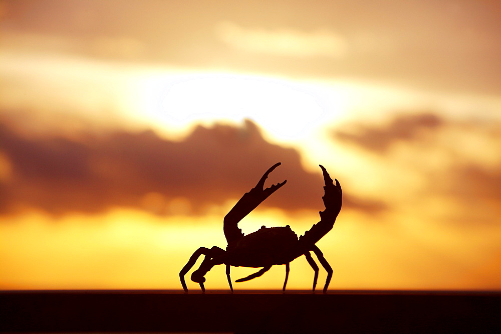 Mexico, Cabo San Lucas, Baja California Sur, Crab walking on railing in sunset.