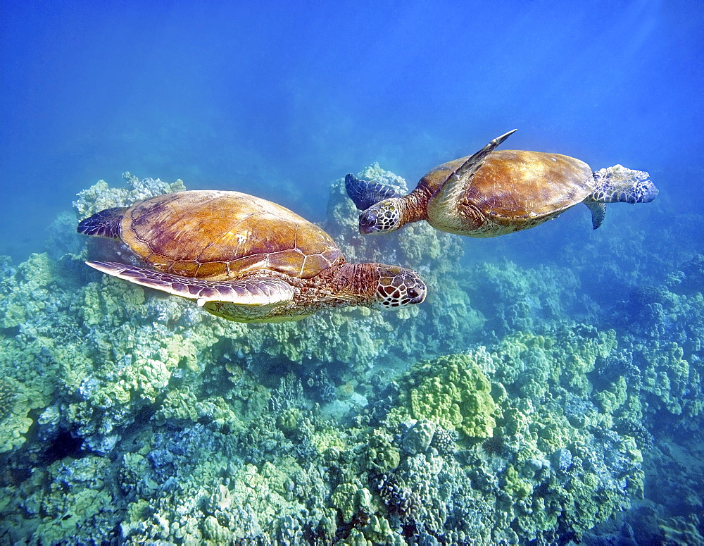 Hawaii, Two green sea turtles, (Chelonia mydas) an endangered species.