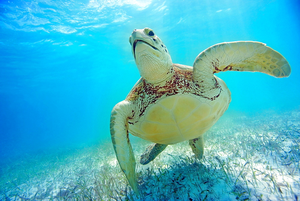 Mexico, Yucatan Peninsula, Green sea turtle (Chelonia mydas) an endangered species.