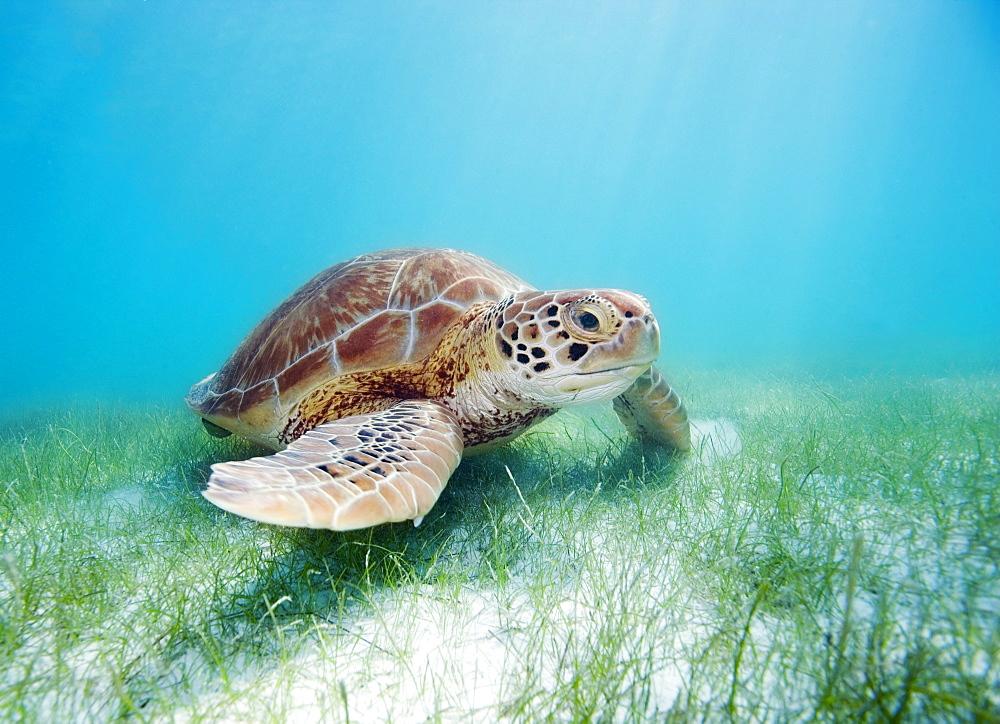 Mexico, Akumal, Green sea turtle (Chelonia mydas) an endangered species.