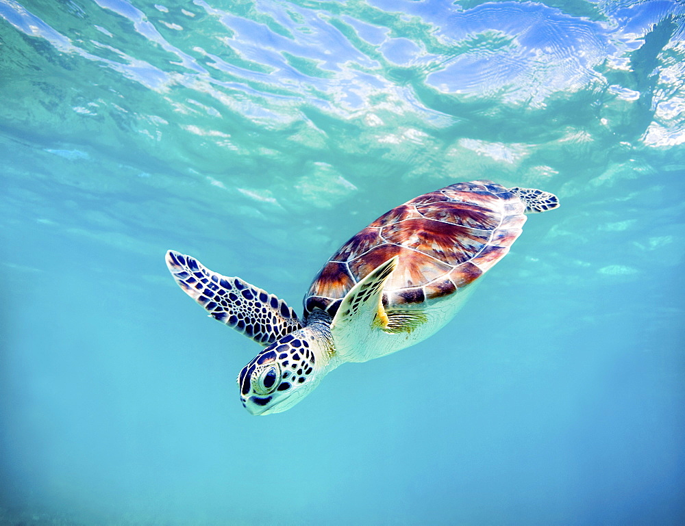 Hawaii, Green sea turtle (Chelonia mydas) an endangered species.