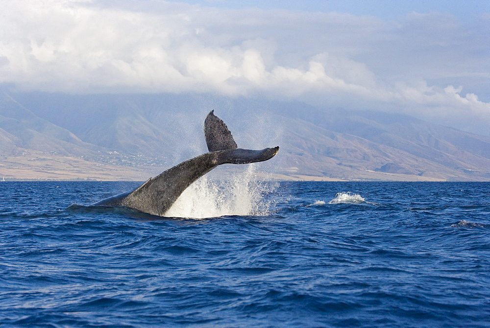 Hawaii, Maui, Humpback whale fluking its tail.