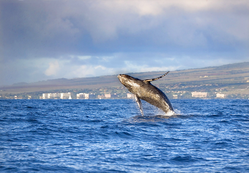 Hawaii, Maui, Kaanapali, Humpback whale breaching with island in the background.