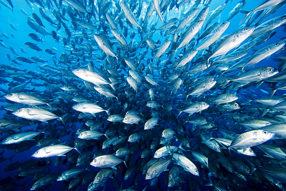 Malaysia, Schooling Bigeye Jack fish (Caranx sexfasciatus).