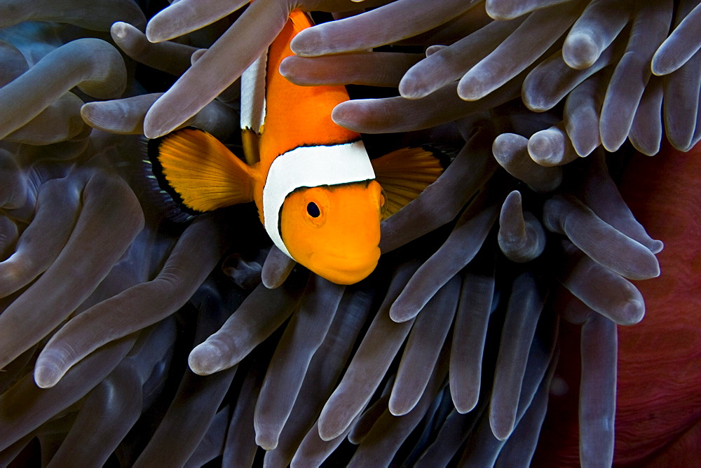 Indonesia, Clown Anemonefish (Amphiprion percula) hiding in anemone.
