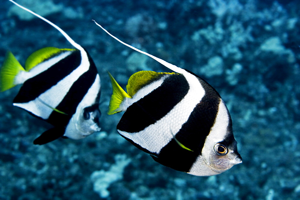 Hawaii, Two Pennant Bannerfish (heniochus chrysostomus) gliding through water together.