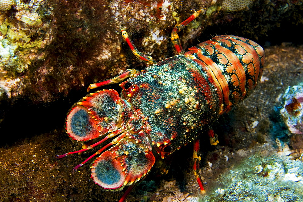 Hawaii, Regal Slipper lobster (arctides regalis) hiding in reef.