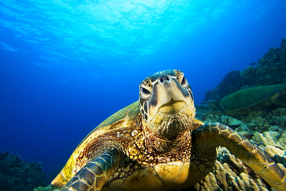 Hawaii, Green sea turtle (Chelonia mydas) above coral reef.
