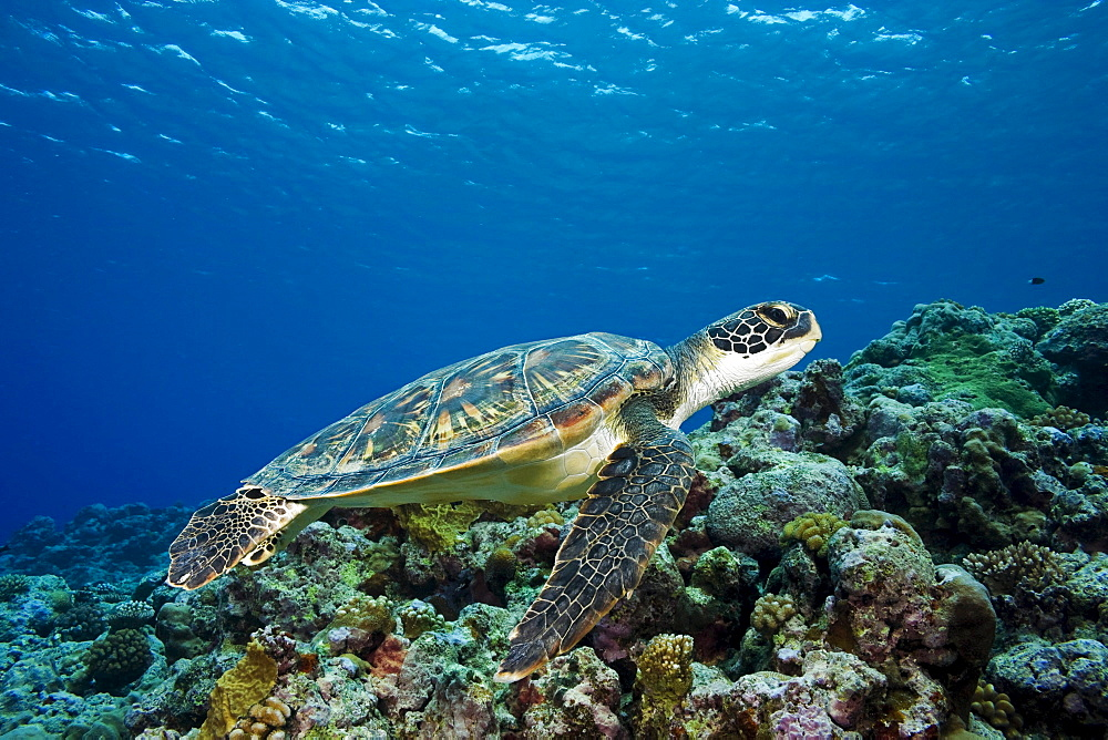 Micronesia, Yap, Green sea turtle (Chelonia mydas) over coral reef.