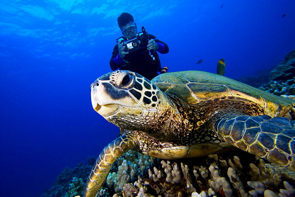 Hawaii, Green sea turtle (Chelonia mydas) on coral reef, Scuba diver nearby.