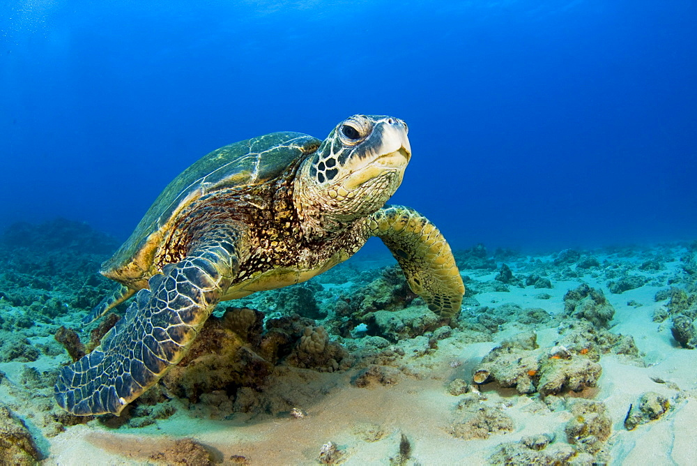 Hawaii, Green sea turtle (Chelonia mydas) on ocean floor, Endangered species.