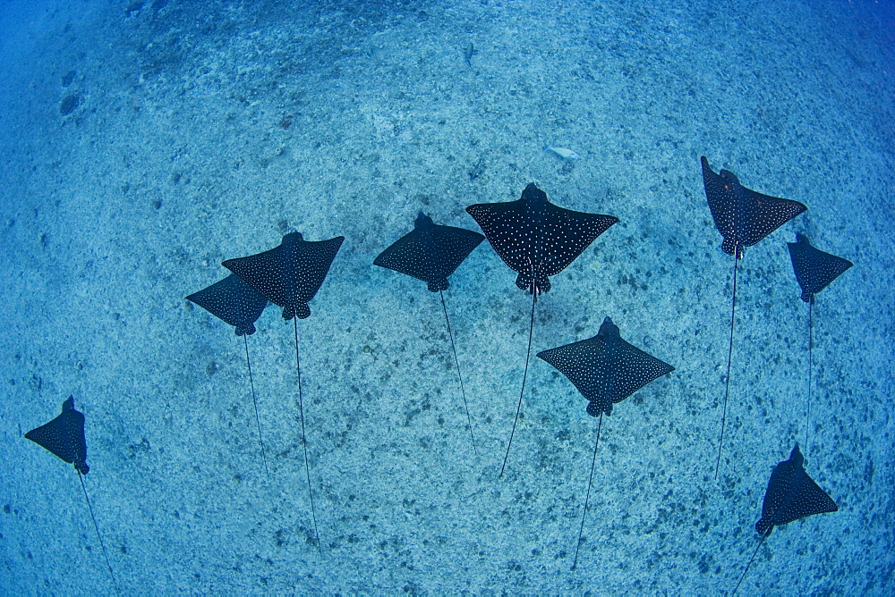 Hawaii, Oahu, Spotted eagle rays (aetobatus narinari), View from above.