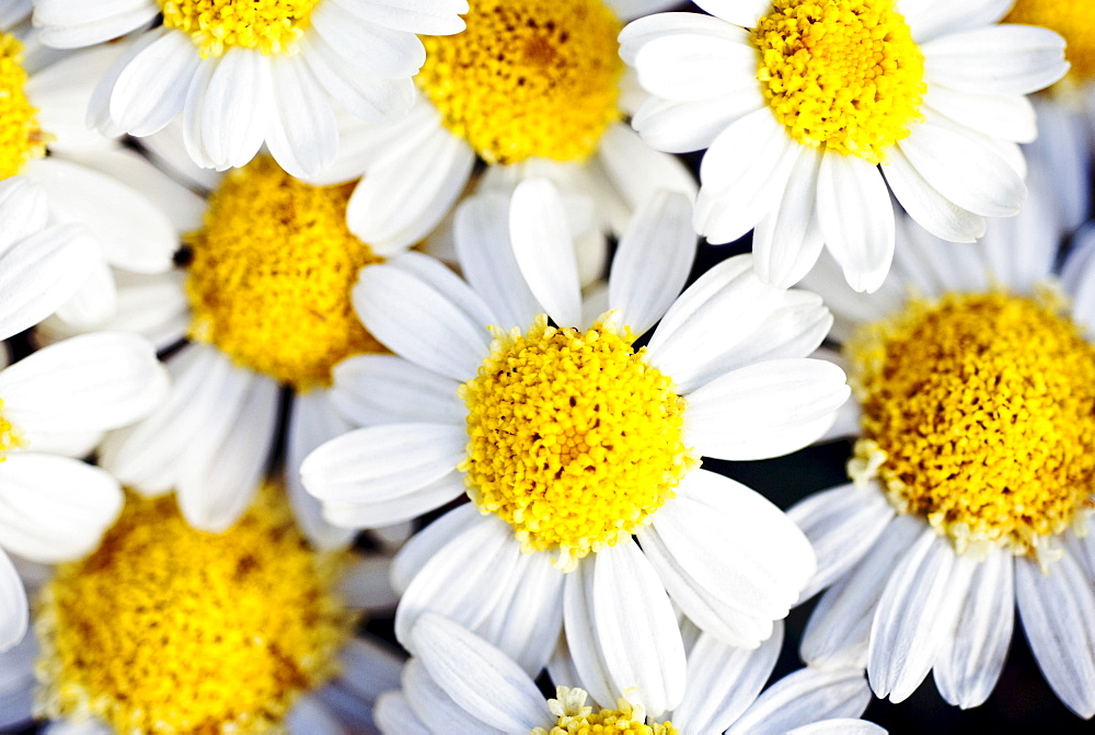 Summer Daisies (Anthemis punctata), Cluster of white blossoms, View from above.