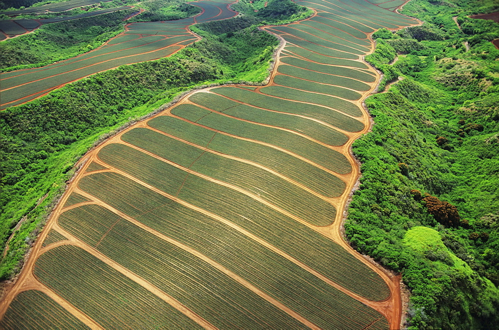 Aerial of pineapple fields, well groomed in rows.