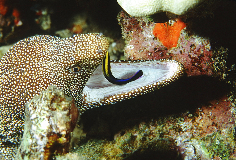 Hawaii, white-mouth moray eel with cleaner wrasse in mouth.