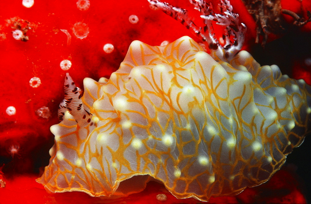 Hawaii, gold-lace nudibranch, with red sponge.