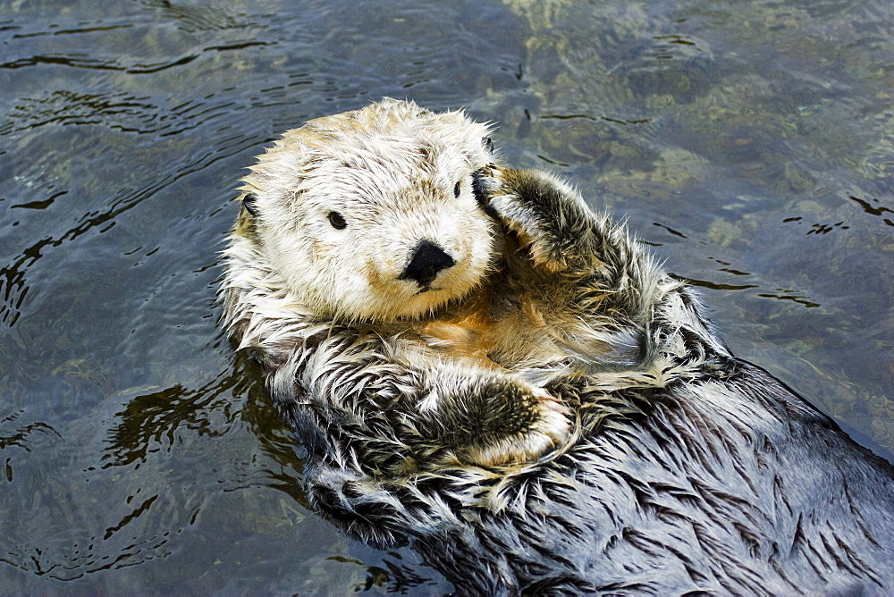 California, Monterey, California sea otter (Enhydra lutris).