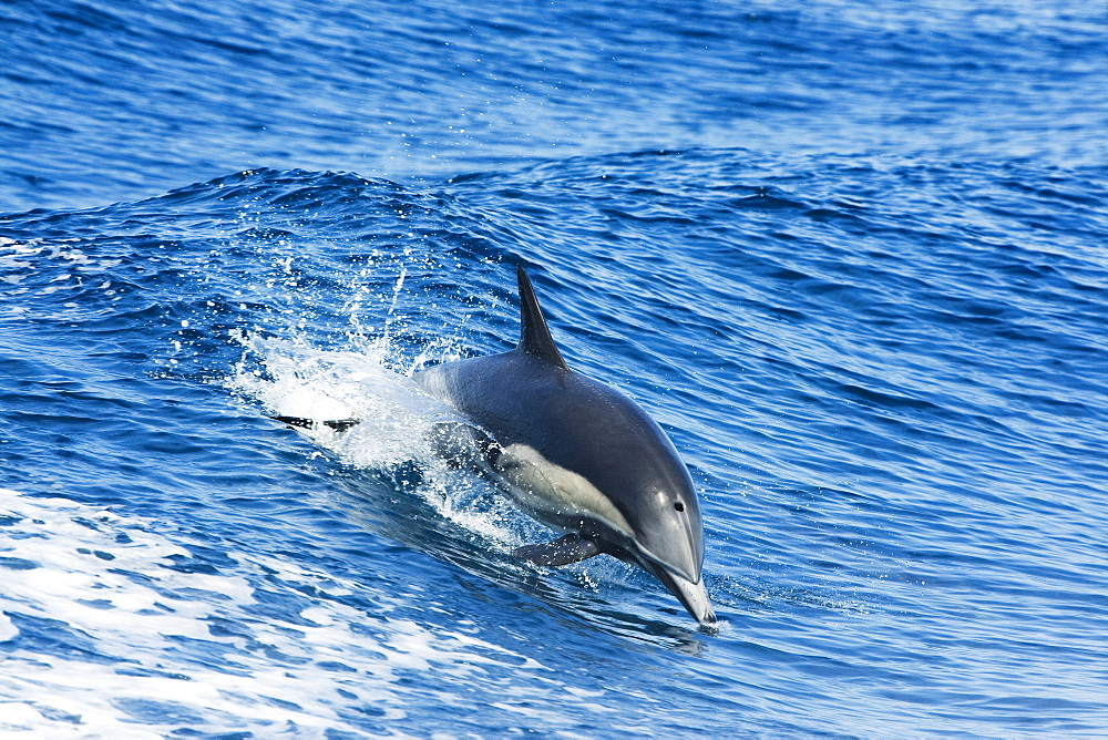 Mexico, This common dolphin (Delphinus delphis) was one in a school of over 1000 in the Pacific open water.