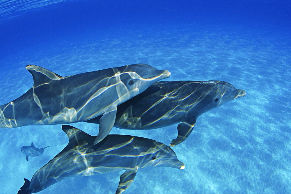 Bahamas, These Atlantic Bottlenose Dolphin (Tursiops truncatus) swimming together.
