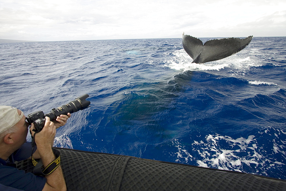 Hawaii, Maui, Lahaina, A photograher on a whale watching boat out of got a close up look at the tail of a humpback whale (Megaptera novaeangliae).
