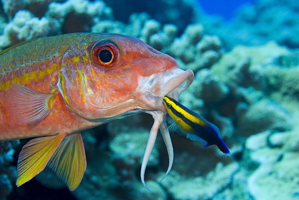 Hawaii, Yellowfin goatfish (Mulloidichthys vanicolensis) and an endemic Hawaiian cleaner wrasse (Labroides phthirophagus) taking a close look in it's mouth.