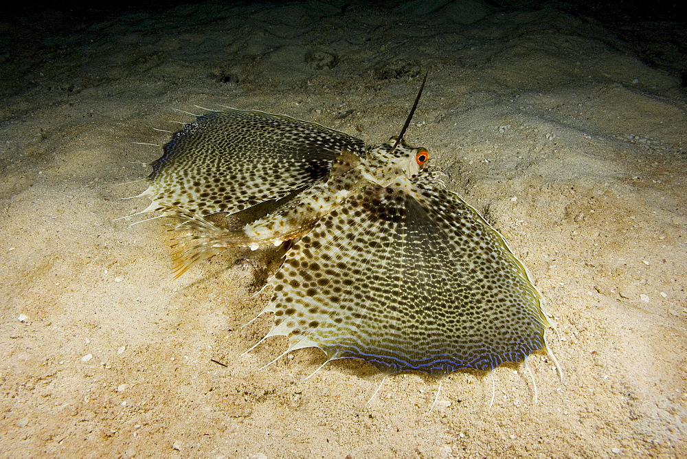 Hawaii, The oriental flying gurnard (Dactylopterus orientalis) is remarkable for its enormous pectoral fins. When spread, they have the form of rounded fanlike wings.