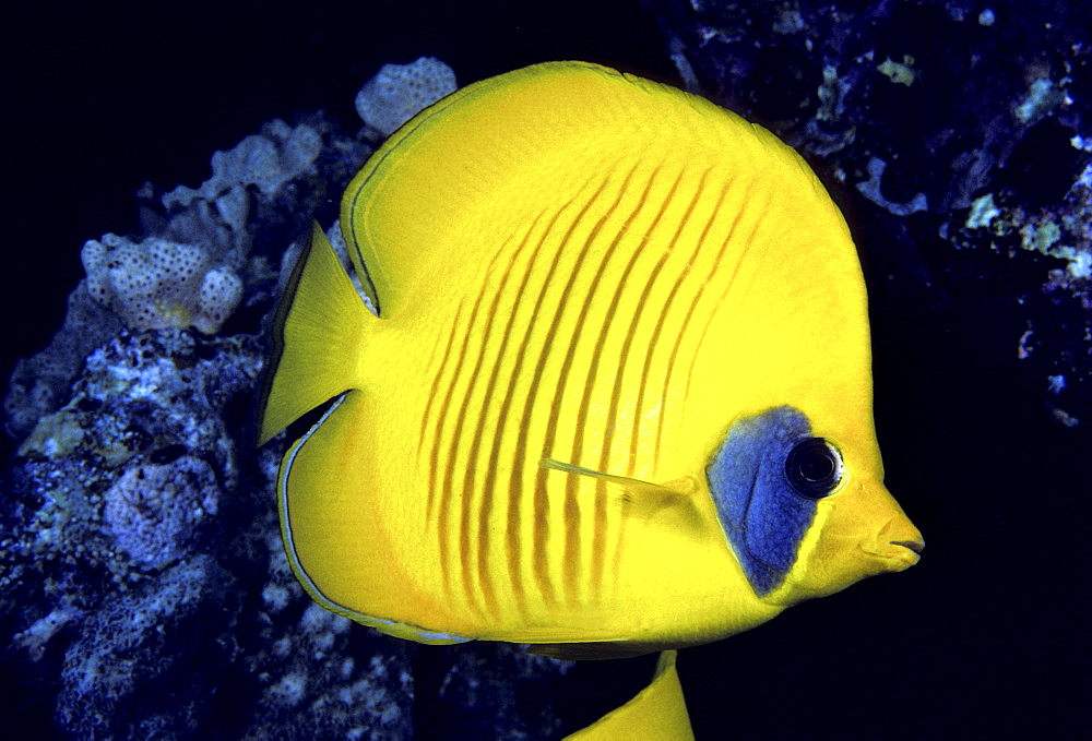 The Red Sea, The blue cheeked butterflyfish (Chaetodon semilarvatus) is also known as the masked or golden butterflyfish.