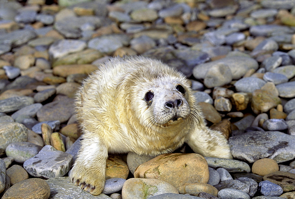 Scotland, The Orkney Islands, This gray seal (Halichoerus grypus) pup is tended by it¦s mother on the beach until it molts.