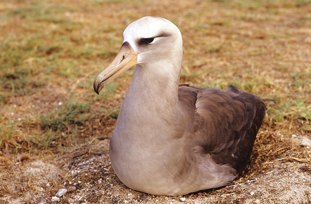 Northwest Hawaiian Islands, Midway Atoll, Hybrid Laysan/Black-footed albatross.