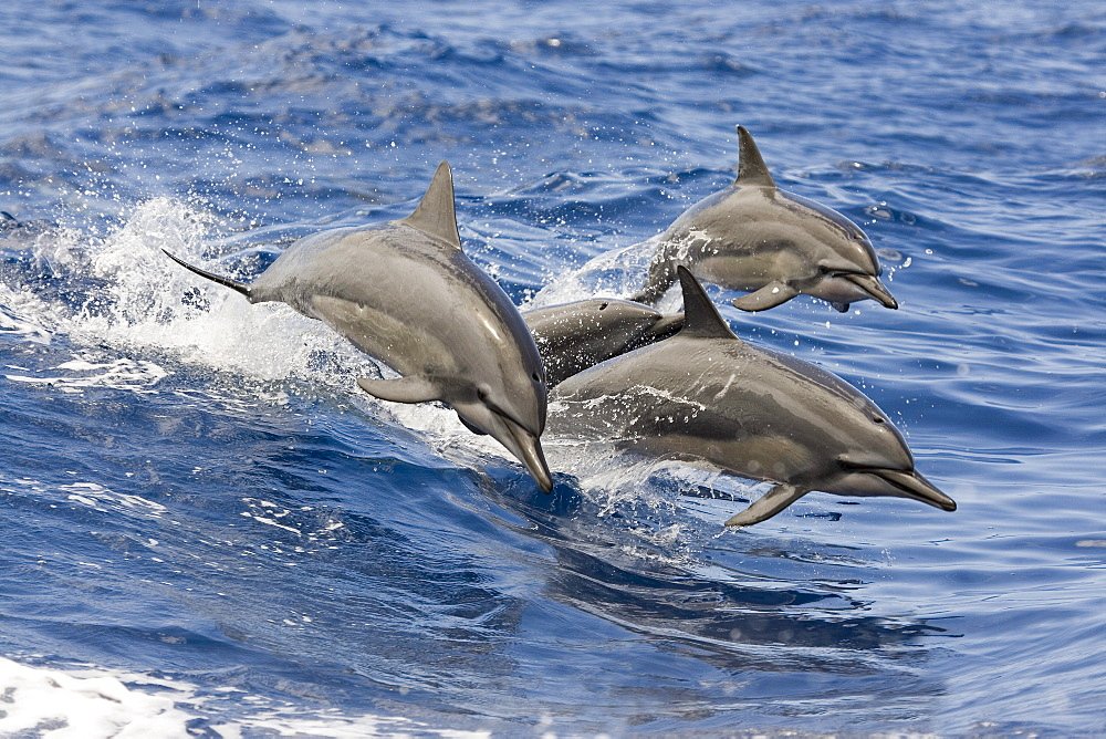 Hawaii, spinner dolphins (Stenella longirostris) leap into the air at the same time.