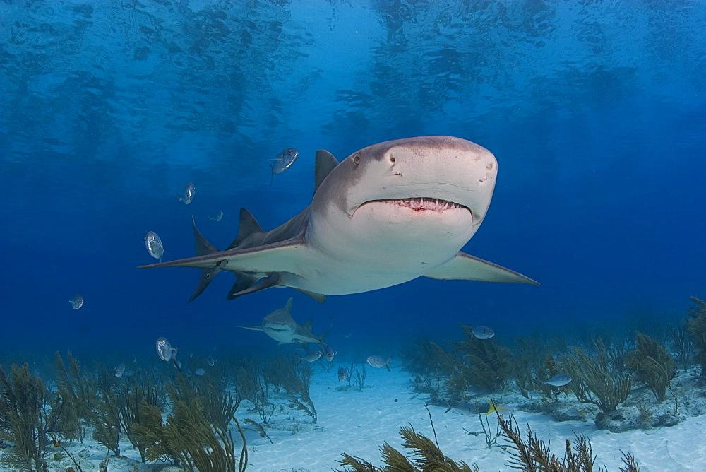 Caribbean, Bahamas, Little Bahama Bank, Lemon Shark (Negaprion brevirostris) near seafloor.