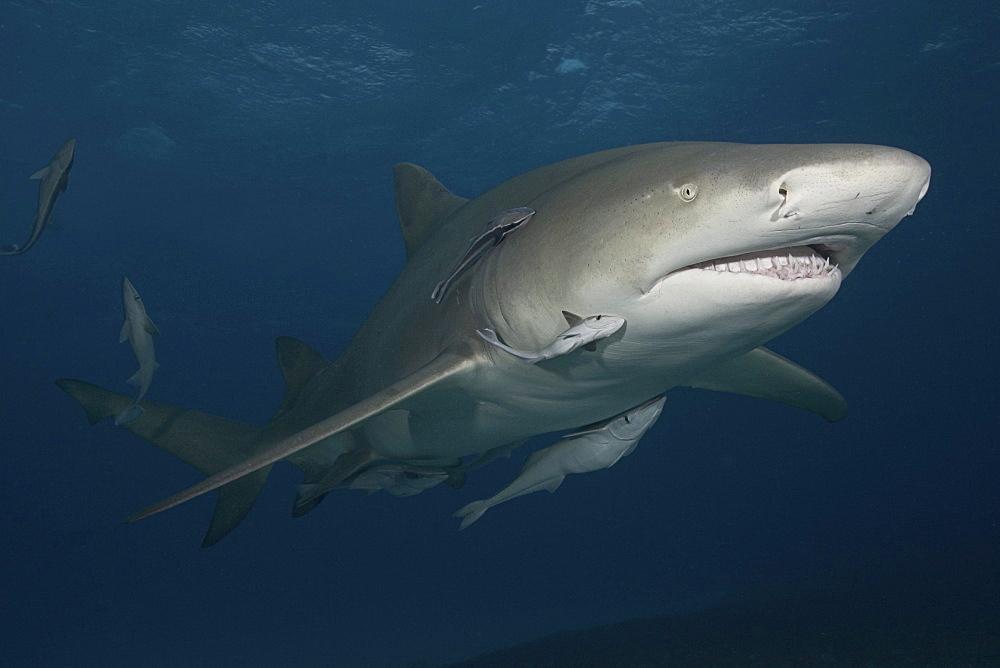 Caribbean, Bahamas, Little Bahama Bank, Lemon Shark (Negaprion brevirostris) with remora.