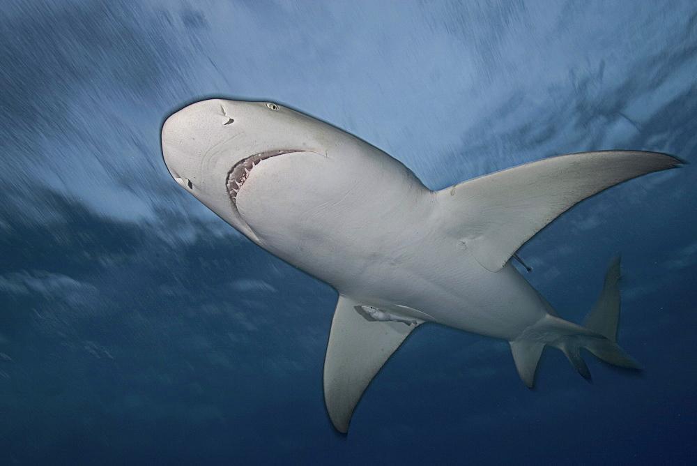 Caribbean, Bahamas, Little Bahama Bank, Lemon Shark (Negaprion brevirostris), view from below.
