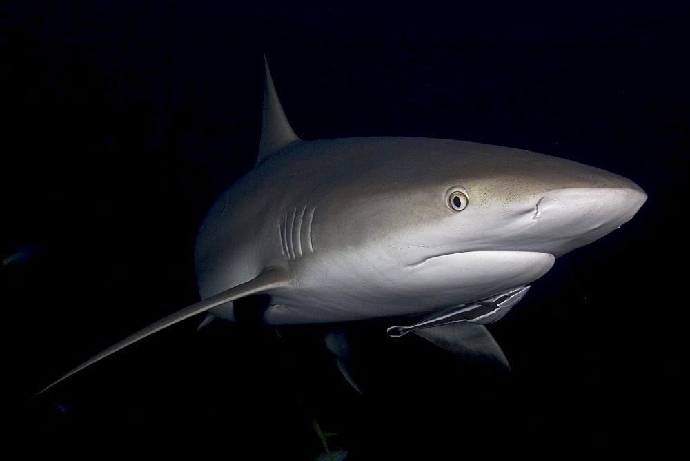 Caribbean, Bahamas, Caribbean Reef Sharks (Carcharhinus perezi), with remora in dark water.